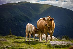Картинка Гора Коровы Детеныши Траве Две животное