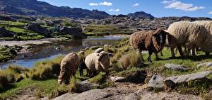 Картинка Гора Камни Овцы Аргентина Трава Стадо province of Cordoba животное