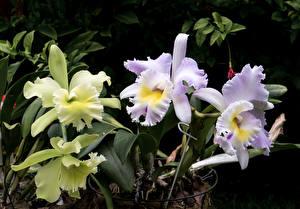 Обои Орхидеи Крупным планом цветок