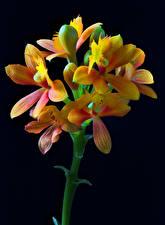 Фото Орхидеи Крупным планом Черный фон Бутон Epidendrum