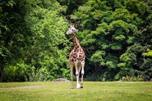 Картинка Парки Жирафы