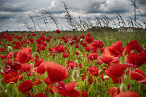 Картинки Мак Вблизи Красный Цветы