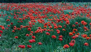 Картинки Мак Поля цветок