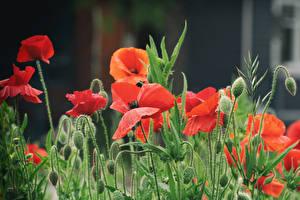 Фото Маки Красный Бутон цветок