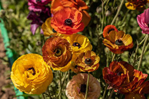 Обои Лютик Крупным планом Разноцветные Цветы картинки