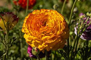 Обои Лютик Вблизи Желтый Цветы
