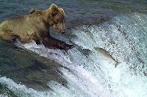 Обои Реки Рыбы Медведь Гризли Рыбалка Водопады С брызгами Охота