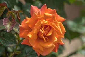 Фото Розы Крупным планом Оранжевых цветок