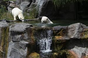 Обои Камень Водопады Медведь Белые Медведи Вена Австрия Два Schönbrunn Zoo животное