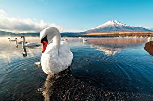Картинки Лебеди Вода Гора Птица