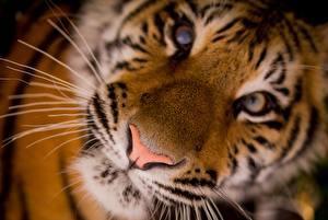 Обои для рабочего стола Тигры Крупным планом Носа Морды Усы Вибриссы Смотрят животное