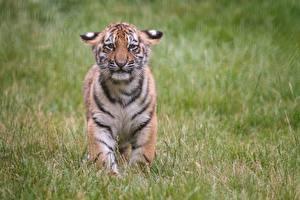 Фотографии Тигры Детеныши Грустная Траве животное