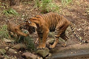 Фотография Тигры Детеныши Камни Двое Bengal tiger Животные