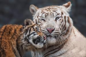 Фотография Тигры Детеныши Двое Морды Милые Животные