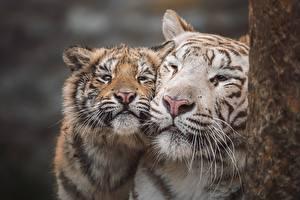 Картинка Тигр Детеныши Два Морда Усы Вибриссы Милый животное