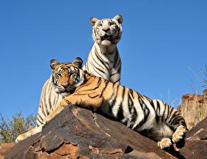 Обои Тигры Двое Лежит Животные картинки