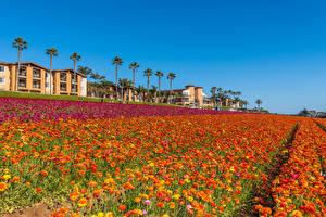Фотографии Штаты Поля Лютик Много Калифорния Цветы