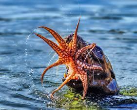 Фото Вода Осьминоги Морские львы Охотится животное
