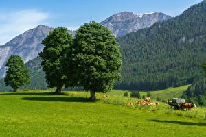 Картинки Австрия Горы Леса Коровы Луга Дерева Траве Saalfelden am Steinernen Meer Природа