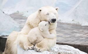 Фото Медведи Белые Медведи Детеныши Двое Объятие Миленькие Животные