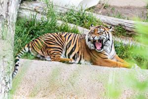Фотографии Большие кошки Тигр Рычит Лежат животное