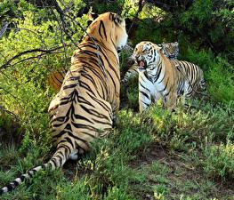 Картинка Большие кошки Тигры Вдвоем Злой Животные