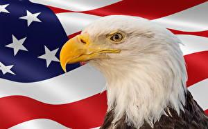 Картинка Птица Орел Америка Праздники Голова Флага Клюв Memorial Day Животные