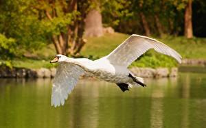 Картинки Птица Лебедь Летят Белая