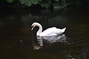 Картинки Птица Лебеди Вода Белый Животные
