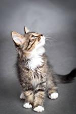 Фото Кошки Сером фоне Котята Смотрят Животные