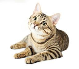 Фото Коты Белым фоном Смотрит Лапы Животные