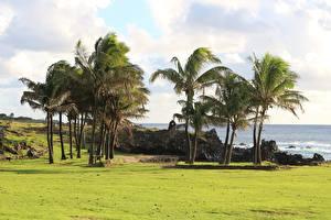 Фотография Чили Траве Пальмы Дерева Easter Island Природа