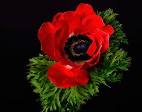 Картинки Вблизи Анемоны Черный фон Красная Цветы
