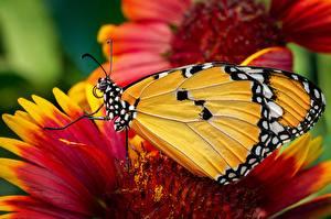 Картинка Крупным планом Бабочки Данаида монарх животное