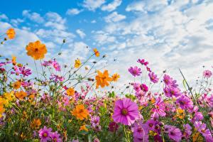 Фотография Космея Лето Небо Цветы