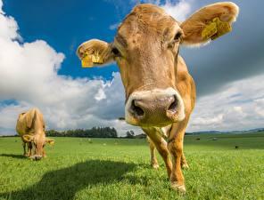 Фотографии Коровы Луга Крупным планом Морда Головы животное