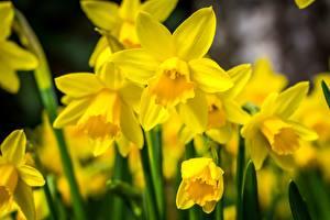 Картинка Нарциссы Вблизи Желтая Цветы