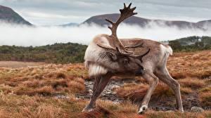 Фотография Олени Рога Reindeer животное