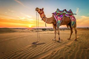 Картинки Пустыня Верблюды Рассвет и закат Песка животное