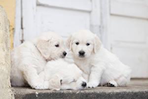 Фотография Собака Голден Втроем Щенки Белая
