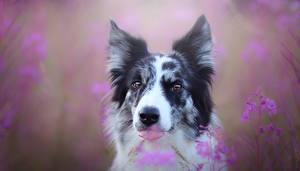 Обои Собака Головы Смотрит Языком Бордер-колли животное