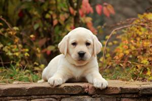 Фото Собаки Щенки Лабрадор-ретривер Лап Белый