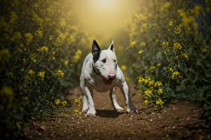 Картинка Собаки Рапс Бультерьер животное