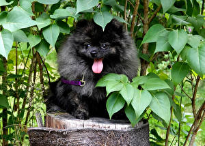 Фото Собака Сидящие Шпиц Черный Языком Животные
