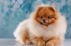 Фотография Собаки Шпицев Рыжий Пушистые Взгляд животное