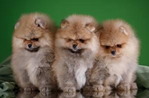 Картинка Собаки Шпиц Трое 3 Пушистый Животные