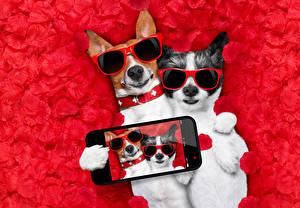 Картинки Собака 2 Джек-рассел-терьер Очков Сматфоном Селфи Лепестков Забавные животное