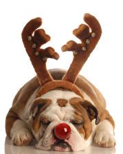 Фотографии Собака Белом фоне Бульдога С рогами Носа Спящий Лап
