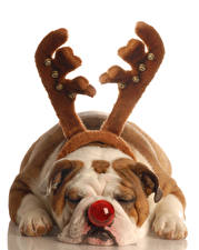 Фотографии Собаки Белый фон Бульдога Рога Нос Спит Лапы Животные
