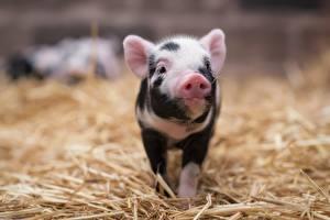 Картинки Домашняя свинья Детеныши Солома